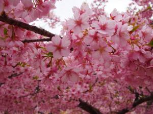 長楽寺の河津桜&梅