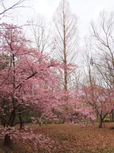花川運動公園お花見2