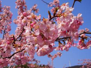 河津桜 でんでんころ