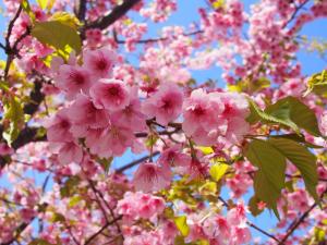 東大山桜まつり