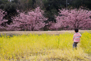 東大山さくらまつり 菜の花