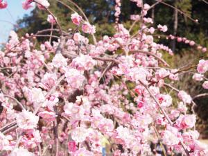 エコパ春節祭 梅