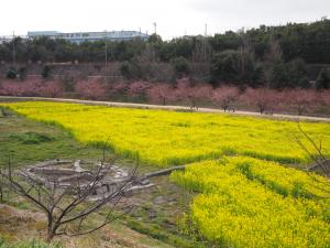 東大山桜まつり菜の花